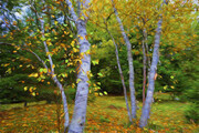 Autumn Birches