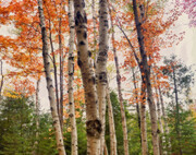 Autumn Birches 2