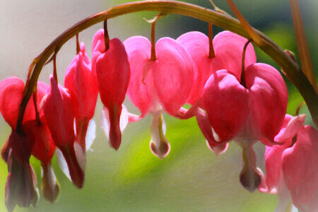 Bleeding Hearts Flower