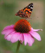 Butterfly on a Cone Flower