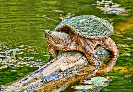 Grandfather Turtle